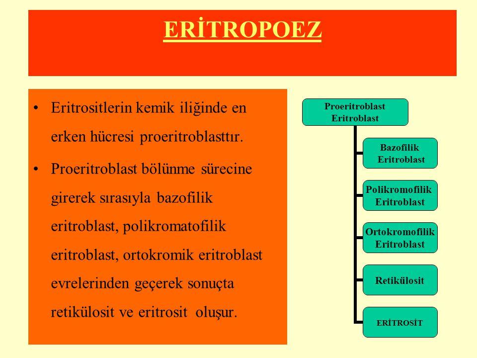 ERİTROPOEZ Eritrositlerin kemik iliğinde en erken hücresi proeritroblasttır. Proeritroblast bölünme sürecine girerek sırasıyla bazofilik eritroblast,