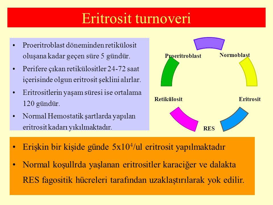 Eritrosit turnoveri Proeritroblast döneminden retikülosit oluşana kadar geçen süre 5 gündür. Perifere çıkan retikülositler 24-72 saat içerisinde olgun
