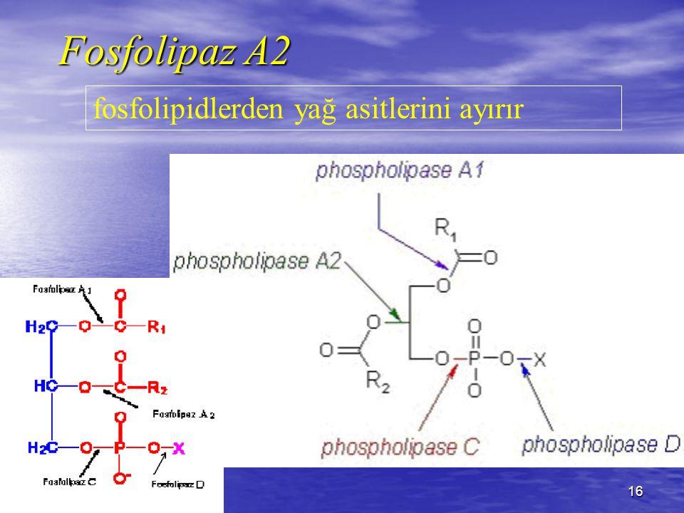 16 Fosfolipaz A2 fosfolipidlerden yağ asitlerini ayırır