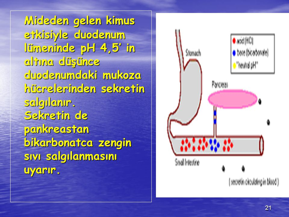 21 Mideden gelen kimus etkisiyle duodenum lümeninde pH 4,5' in altına düşünce duodenumdaki mukoza hücrelerinden sekretin salgılanır. Sekretin de pankr