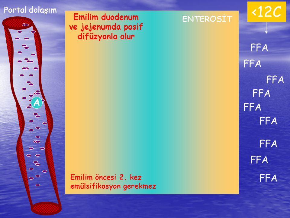 FFA <12C FFA Portal dolaşım A Emilim duodenum ve jejenumda pasif difüzyonla olur Emilim öncesi 2. kez emülsifikasyon gerekmez ENTEROSİT