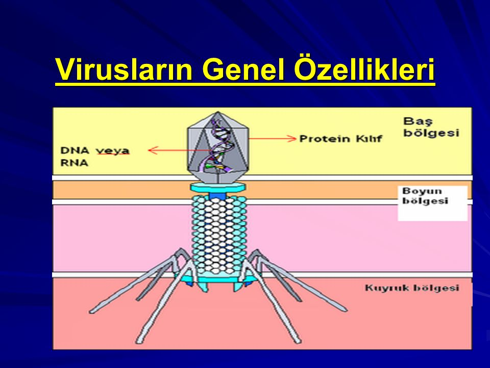 DNA Virüs Aileleri Herpesviridae Ailesi Bu ailede yer alan virüsler ikozahedral simetrili, 180 - 250 nm büyüklüğünde, çift iplikçikli DNA içeren, zarflı virüslerdir.