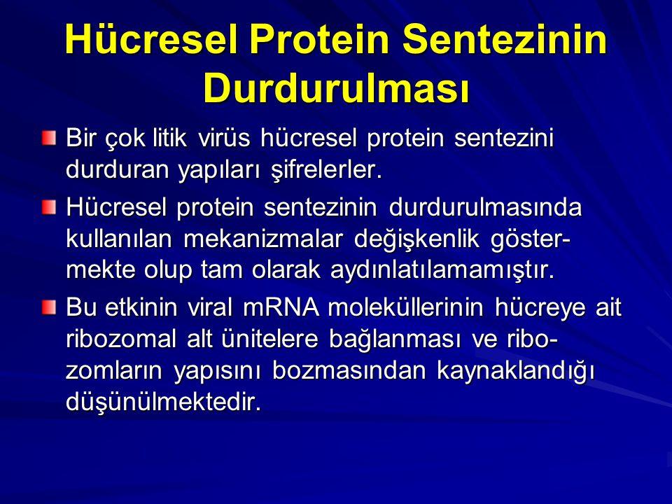 Hücresel Protein Sentezinin Durdurulması Bir çok litik virüs hücresel protein sentezini durduran yapıları şifrelerler. Hücresel protein sentezinin dur