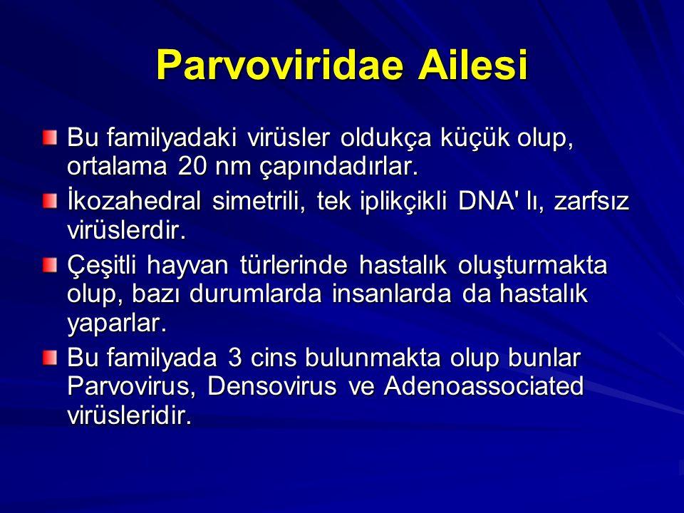 Parvoviridae Ailesi Bu familyadaki virüsler oldukça küçük olup, ortalama 20 nm çapındadırlar. İkozahedral simetrili, tek iplikçikli DNA' lı, zarfsız v
