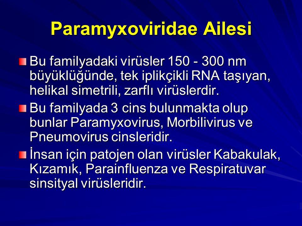 Paramyxoviridae Ailesi Bu familyadaki virüsler 150 - 300 nm büyüklüğünde, tek iplikçikli RNA taşıyan, helikal simetrili, zarflı virüslerdir. Bu family