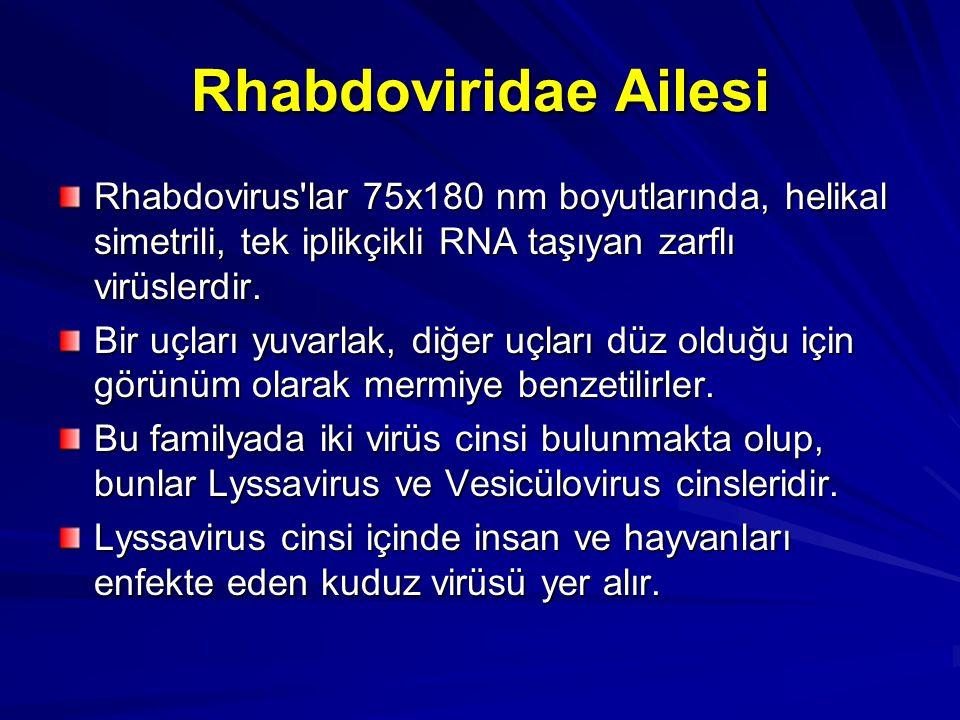 Rhabdoviridae Ailesi Rhabdovirus'lar 75x180 nm boyutlarında, helikal simetrili, tek iplikçikli RNA taşıyan zarflı virüslerdir. Bir uçları yuvarlak, di