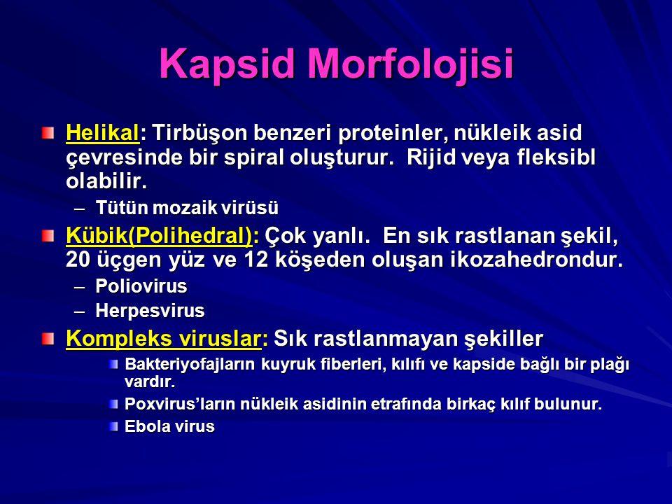 Kapsid Morfolojisi Helikal: Tirbüşon benzeri proteinler, nükleik asid çevresinde bir spiral oluşturur. Rijid veya fleksibl olabilir. –Tütün mozaik vir