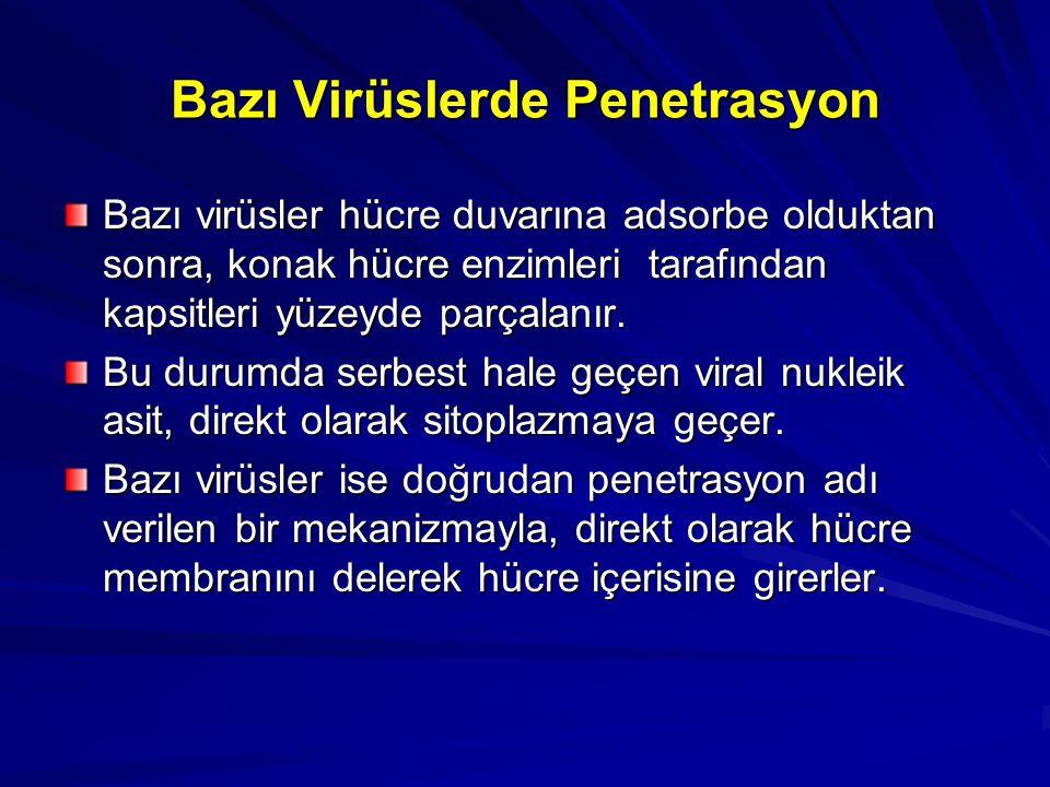 Bazı Virüslerde Penetrasyon Bazı virüsler hücre duvarına adsorbe olduktan sonra, konak hücre enzimleri tarafından kapsitleri yüzeyde parçalanır. Bu du