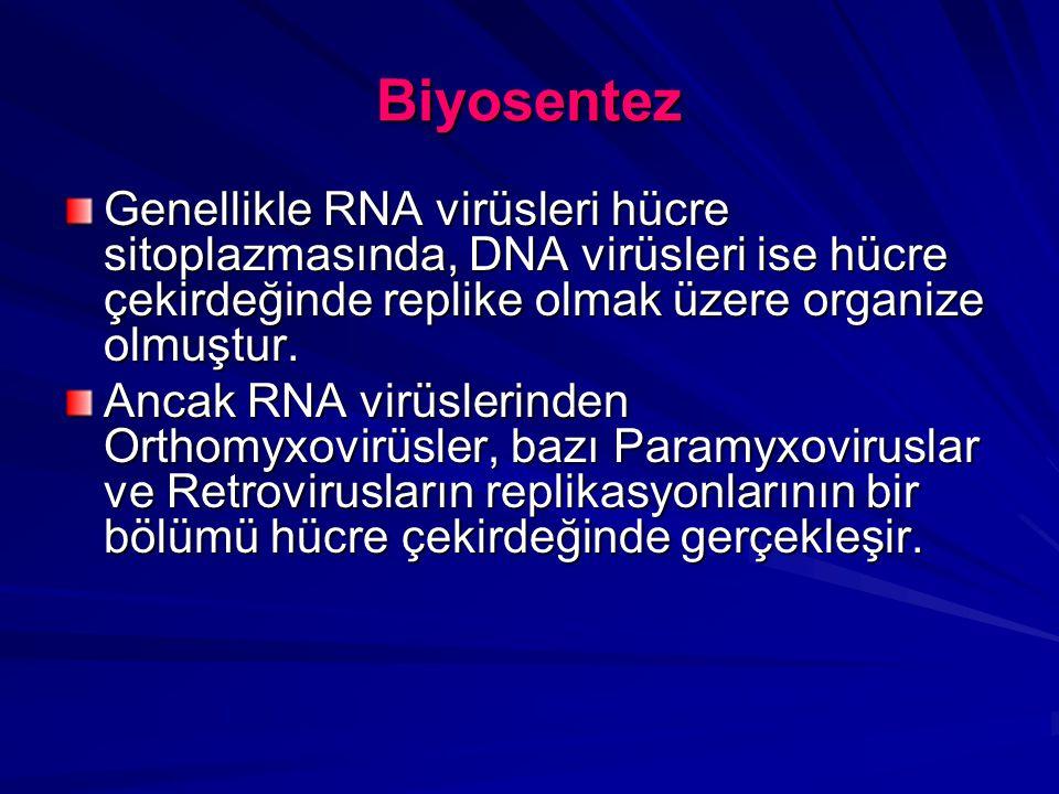 Biyosentez Genellikle RNA virüsleri hücre sitoplazmasında, DNA virüsleri ise hücre çekirdeğinde replike olmak üzere organize olmuştur. Ancak RNA virüs