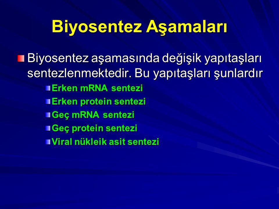 Biyosentez Aşamaları Biyosentez aşamasında değişik yapıtaşları sentezlenmektedir. Bu yapıtaşları şunlardır Erken mRNA sentezi Erken protein sentezi Ge