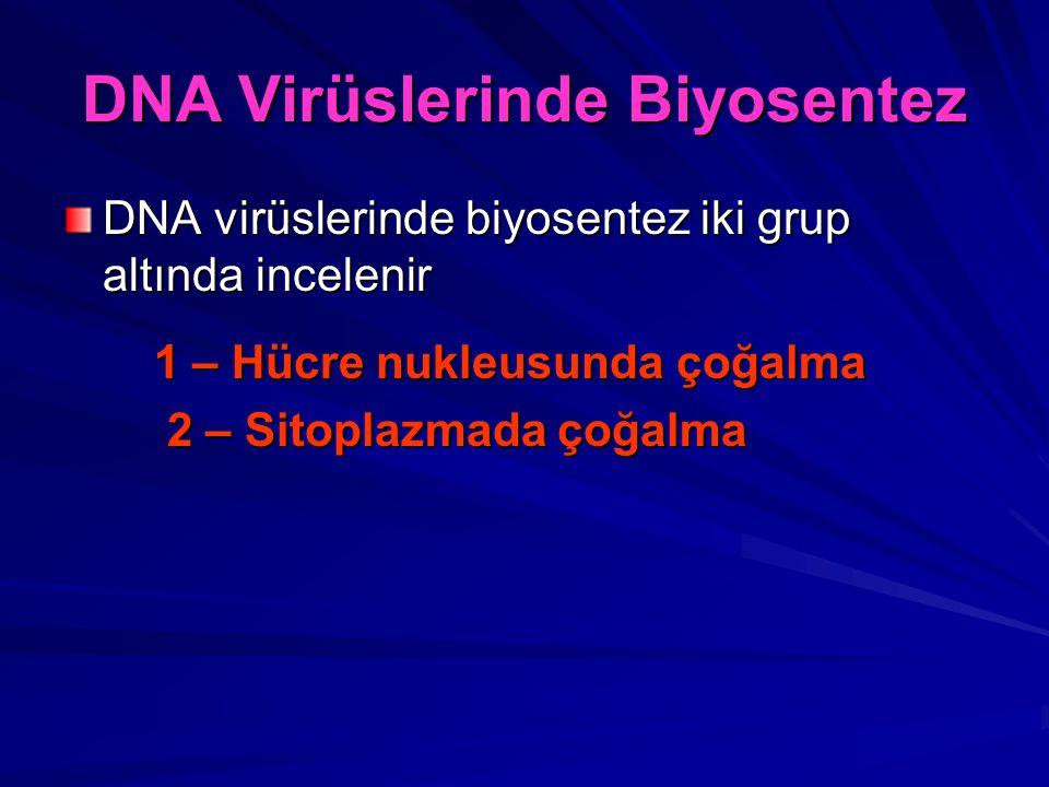 DNA Virüslerinde Biyosentez DNA virüslerinde biyosentez iki grup altında incelenir 1 – Hücre nukleusunda çoğalma 1 – Hücre nukleusunda çoğalma 2 – Sit