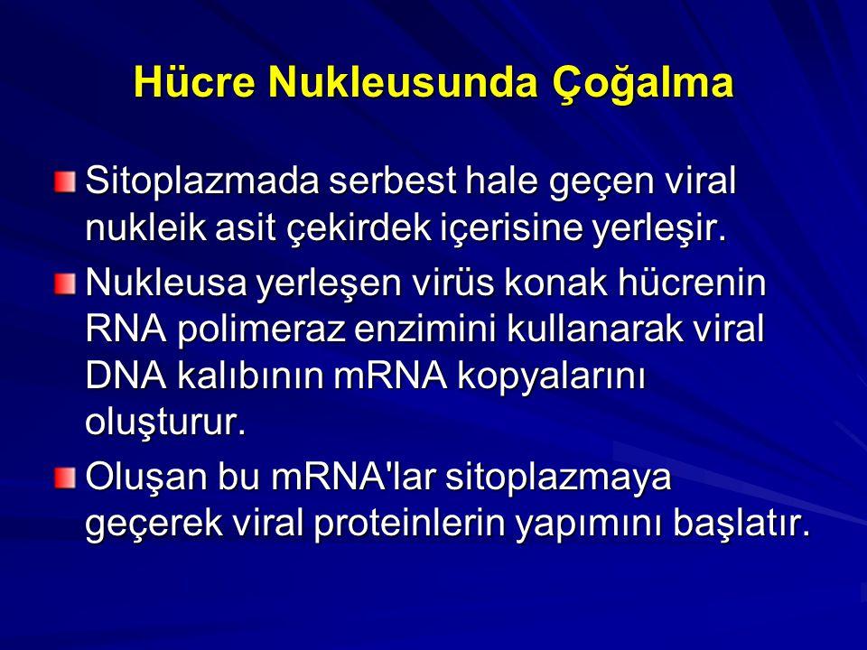 Hücre Nukleusunda Çoğalma Sitoplazmada serbest hale geçen viral nukleik asit çekirdek içerisine yerleşir. Nukleusa yerleşen virüs konak hücrenin RNA p