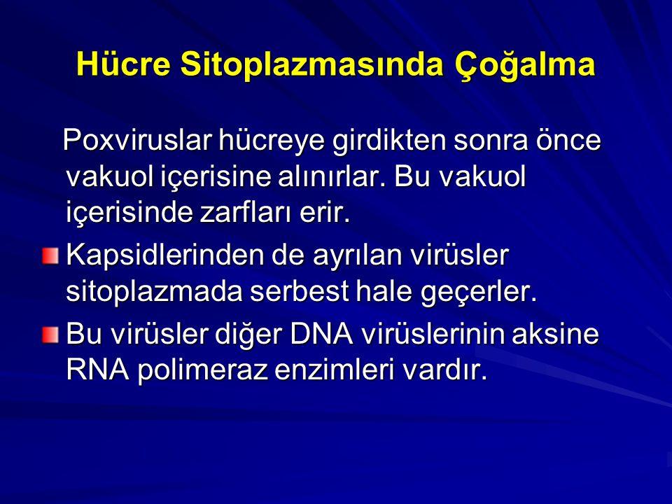 Hücre Sitoplazmasında Çoğalma Poxviruslar hücreye girdikten sonra önce vakuol içerisine alınırlar. Bu vakuol içerisinde zarfları erir. Poxviruslar hüc