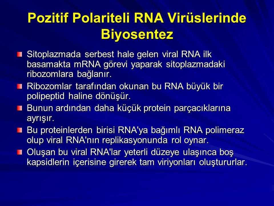 Pozitif Polariteli RNA Virüslerinde Biyosentez Sitoplazmada serbest hale gelen viral RNA ilk basamakta mRNA görevi yaparak sitoplazmadaki ribozomlara