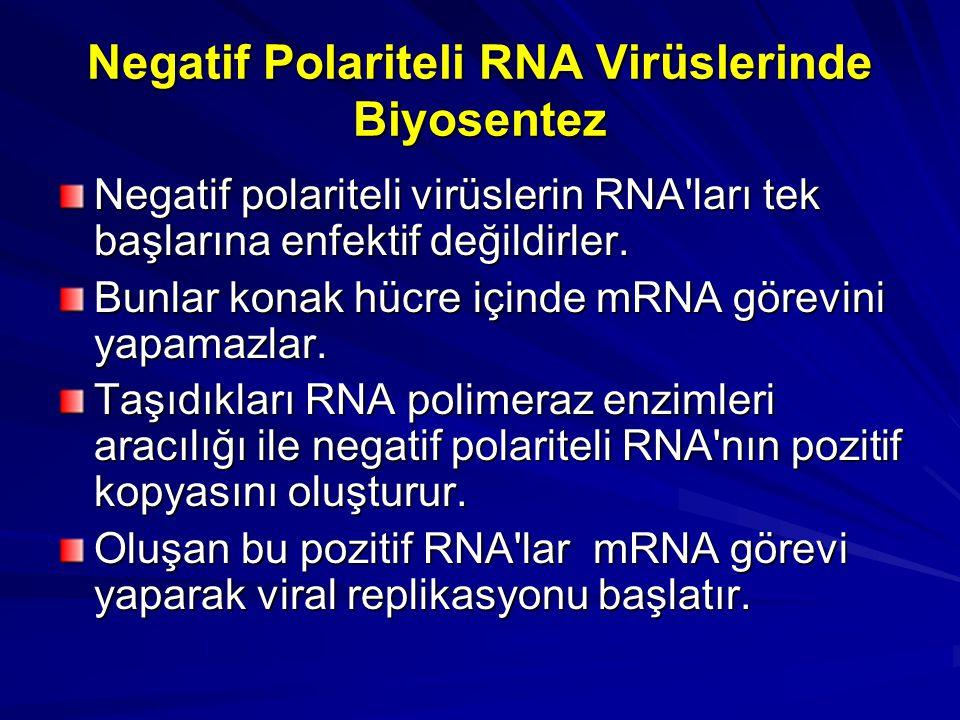 Negatif Polariteli RNA Virüslerinde Biyosentez Negatif polariteli virüslerin RNA'ları tek başlarına enfektif değildirler. Bunlar konak hücre içinde mR