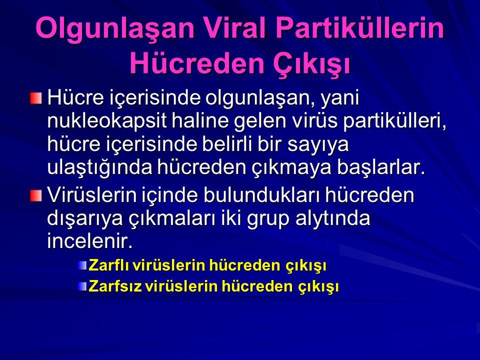 Olgunlaşan Viral Partiküllerin Hücreden Çıkışı Hücre içerisinde olgunlaşan, yani nukleokapsit haline gelen virüs partikülleri, hücre içerisinde belirl