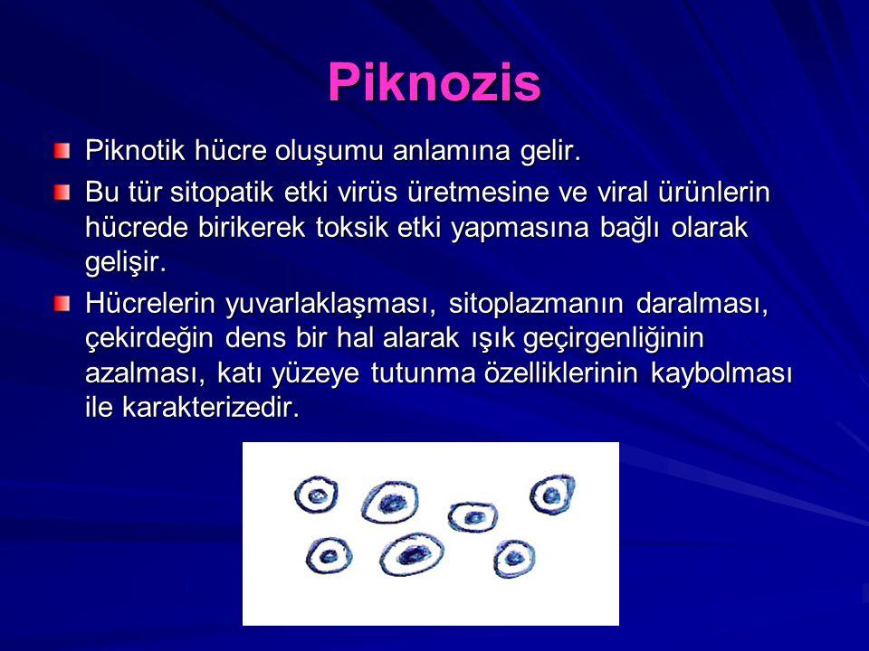 Piknozis Piknotik hücre oluşumu anlamına gelir. Bu tür sitopatik etki virüs üretmesine ve viral ürünlerin hücrede birikerek toksik etki yapmasına bağl