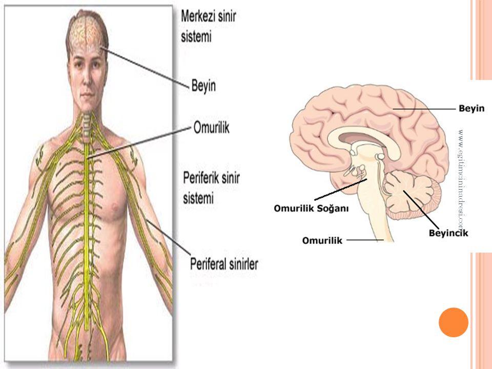 F ELÇ Hareket sinirlerinin zedelenmesi veya kopması durumunda, ilgili organlardaki kaslara emir ulaştırılamaz.