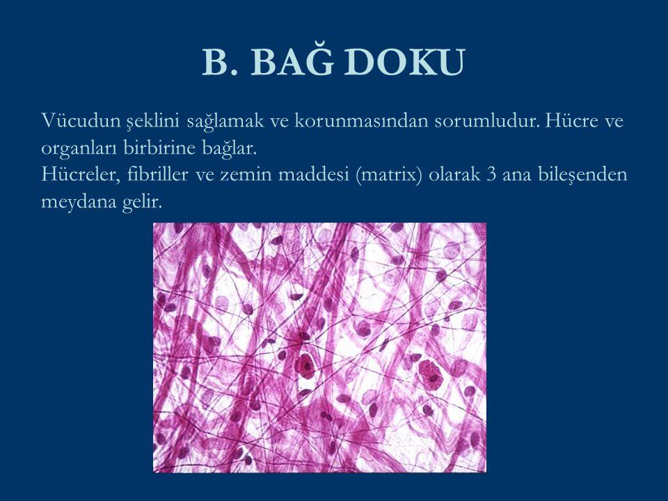 B. BAĞ DOKU Vücudun şeklini sağlamak ve korunmasından sorumludur. Hücre ve organları birbirine bağlar. Hücreler, fibriller ve zemin maddesi (matrix) o