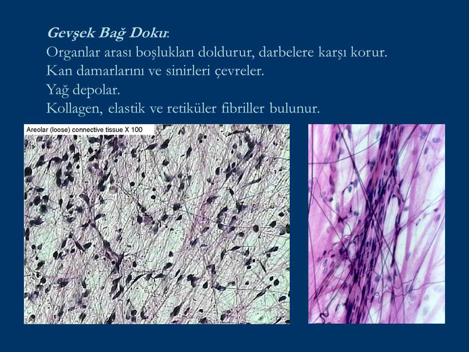 Gevşek Bağ Doku: Organlar arası boşlukları doldurur, darbelere karşı korur. Kan damarlarını ve sinirleri çevreler. Yağ depolar. Kollagen, elastik ve r