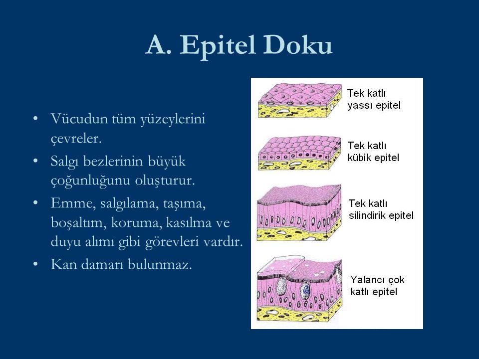 A. Epitel Doku Vücudun tüm yüzeylerini çevreler. Salgı bezlerinin büyük çoğunluğunu oluşturur. Emme, salgılama, taşıma, boşaltım, koruma, kasılma ve d