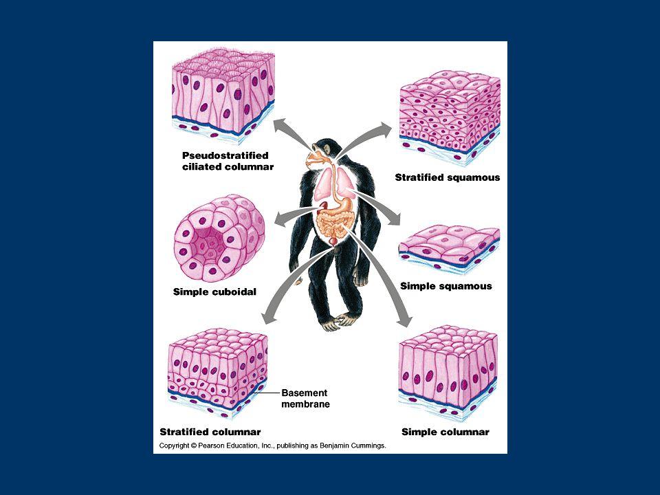 Gevşek Bağ Doku: Organlar arası boşlukları doldurur, darbelere karşı korur.
