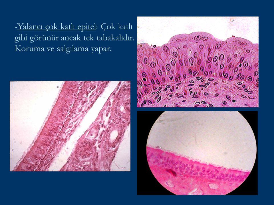 - Çok katlı yassı epitel: Yalnız yüzeyde bulunan hücreler yassıdır. (Dil, Özofagus, Kornea, …)