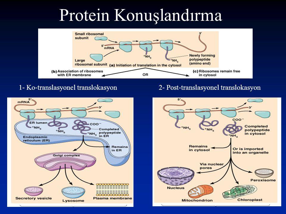 Protein Konuşlandırma 1- Ko-translasyonel translokasyon2- Post-translasyonel translokasyon