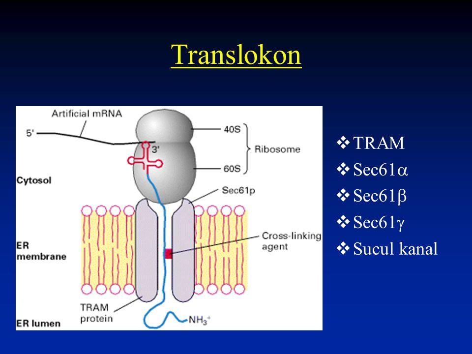 Translokon  TRAM  Sec61   Sec61   Sec61   Sucul kanal