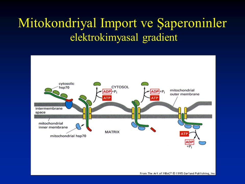 Mitokondriyal Import ve Şaperoninler elektrokimyasal gradient