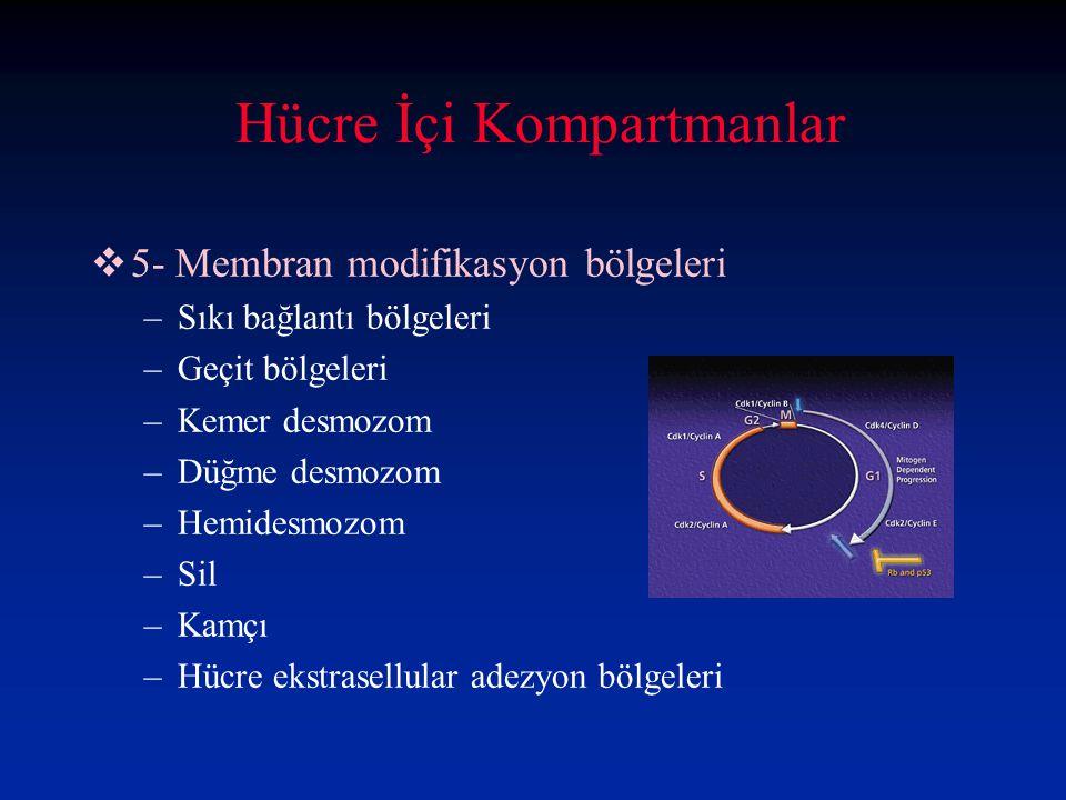 Hücre İçi Kompartmanlar  5- Membran modifikasyon bölgeleri –Sıkı bağlantı bölgeleri –Geçit bölgeleri –Kemer desmozom –Düğme desmozom –Hemidesmozom –Sil –Kamçı –Hücre ekstrasellular adezyon bölgeleri