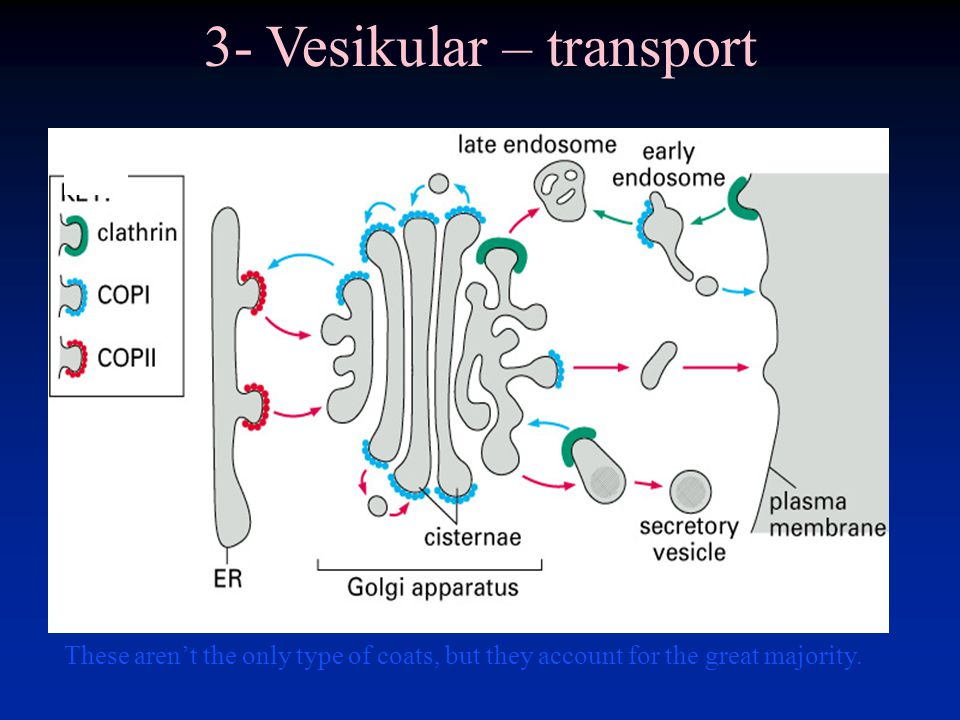 These aren't the only type of coats, but they account for the great majority. 3- Vesikular – transport