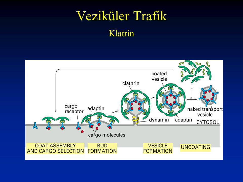 2- Post-translasyonal translokasyon Sitoplazmik Protein Sentezi Hücrede Serbest Protein Sentezi