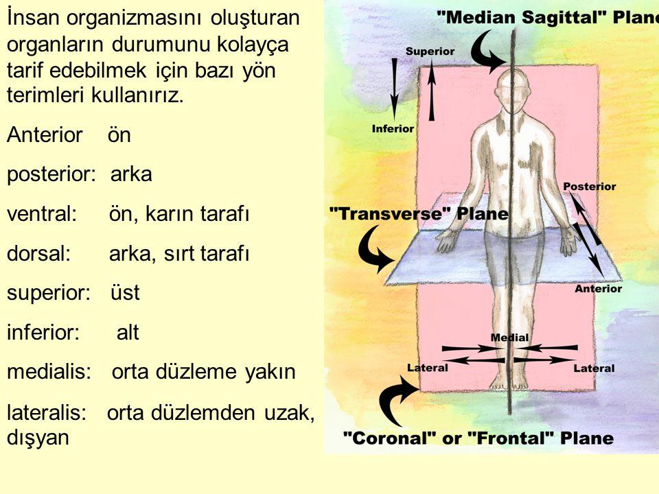 İnsan organizmasını oluşturan organların durumunu kolayça tarif edebilmek için bazı yön terimleri kullanırız. Anterior ön posterior: arka ventral: ön,