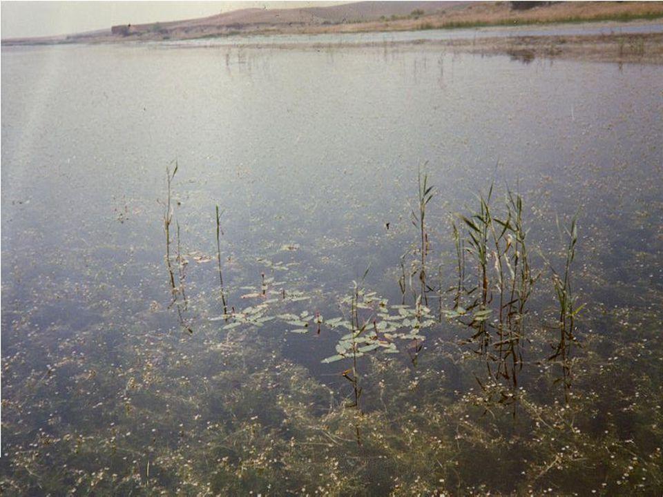 SIĞ GÖLLER Su bitkilerin baskın olduğu berrak su Fitoplankton/AKM baskın olduğu bulanık su