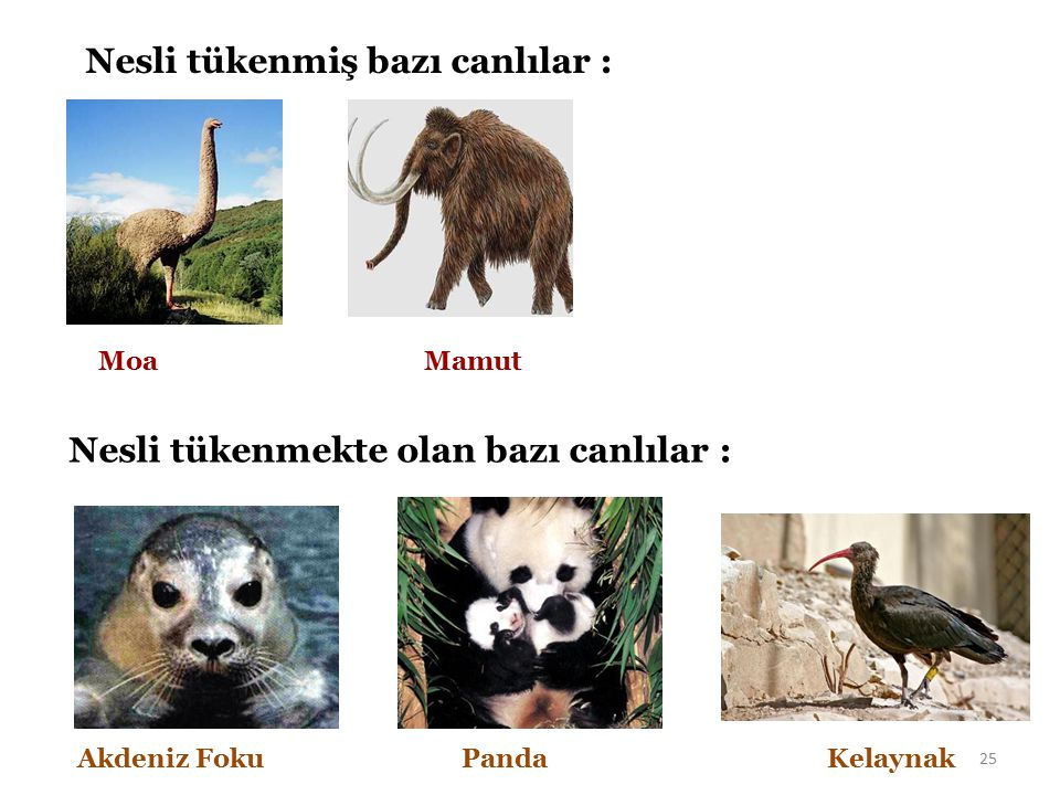 Nesli tükenmiş bazı canlılar : Moa Mamut Nesli tükenmekte olan bazı canlılar : Akdeniz Foku Panda Kelaynak 25