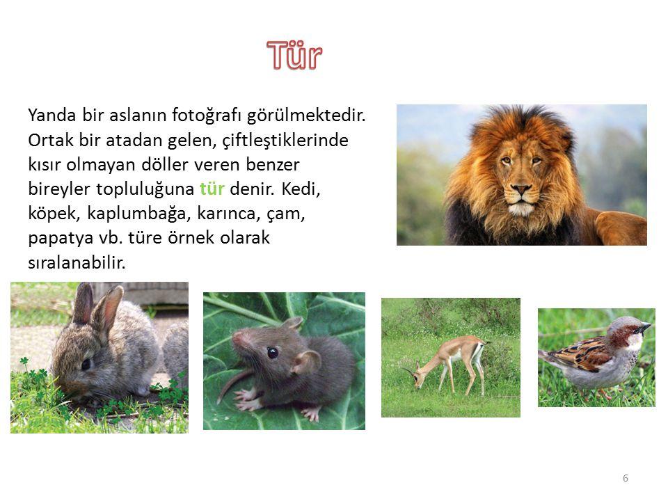 Yanda bir aslanın fotoğrafı görülmektedir. Ortak bir atadan gelen, çiftleştiklerinde kısır olmayan döller veren benzer bireyler topluluğuna tür denir.