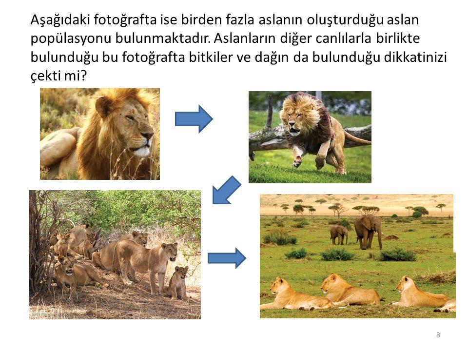 Aşağıdaki fotoğrafta ise birden fazla aslanın oluşturduğu aslan popülasyonu bulunmaktadır. Aslanların diğer canlılarla birlikte bulunduğu bu fotoğraft