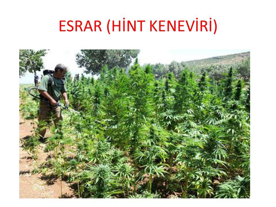ESRAR (HİNT KENEVİRİ)