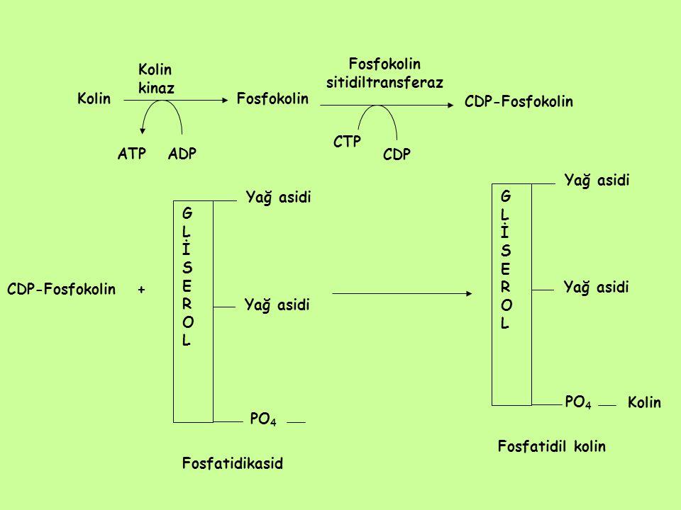 Fosfokolin sitidiltransferaz Kolin kinaz KolinFosfokolin ATPADP CTP CDP CDP-Fosfokolin CDP-Fosfokolin + Fosfatidikasid PO 4 GLİSEROLGLİSEROL Yağ asidi