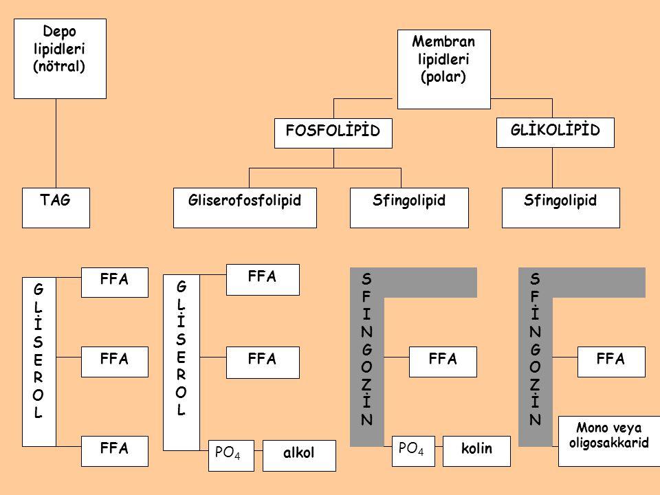 Depo lipidleri (nötral) TAGGliserofosfolipidSfingolipid GLİSEROLGLİSEROL FFA SFINGOZİNSFINGOZİN SFİNGOZİNSFİNGOZİN Mono veya oligosakkarid kolinPO 4 F