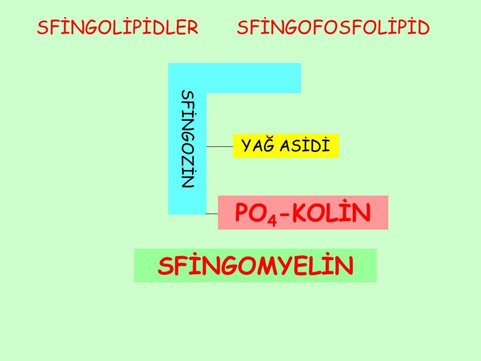 Fosfatidilinozitol (PI) PI alışılmamış bir fosfolipiddir.