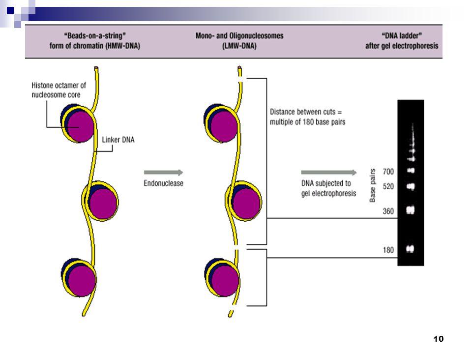 11 organeller ve mitokondriler bozulmaz Hücreler daha küçük parçalara bölünürler Kromatin kondanse olur ve sınırları kaybolur APOPTOSIS NEKROSIS Morfolojik Özellikler organellerin oluşturduğu bütünlük bozulur tamamen lizize uğrar ve hücre içerikleri dökülür kromatin parçalanır ve kondanse olur