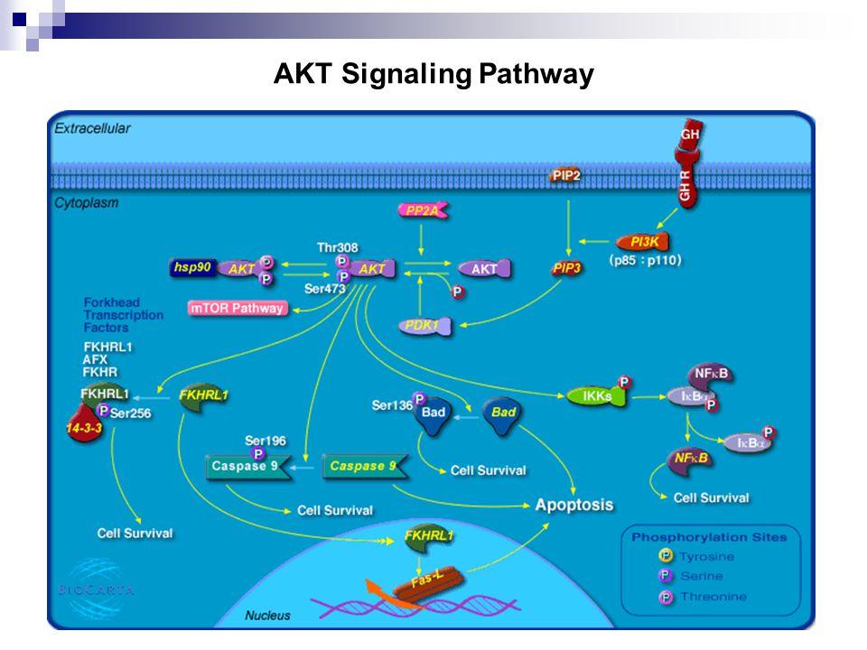 28 AKT Signaling Pathway