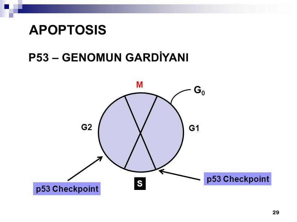 30 P53 – GENOMUN GARDİYANI APOPTOSIS p53 apoptosisi indüklerse çok yüksek düzeyde ifade edilir - DNA hasarı çok olur Hücre S-fazını tamamlar (DNA replicated) DNA Hasarı Hasara Yanıt p53 Tutukluluk/Tamir G1/S G2 Apoptosis via p21