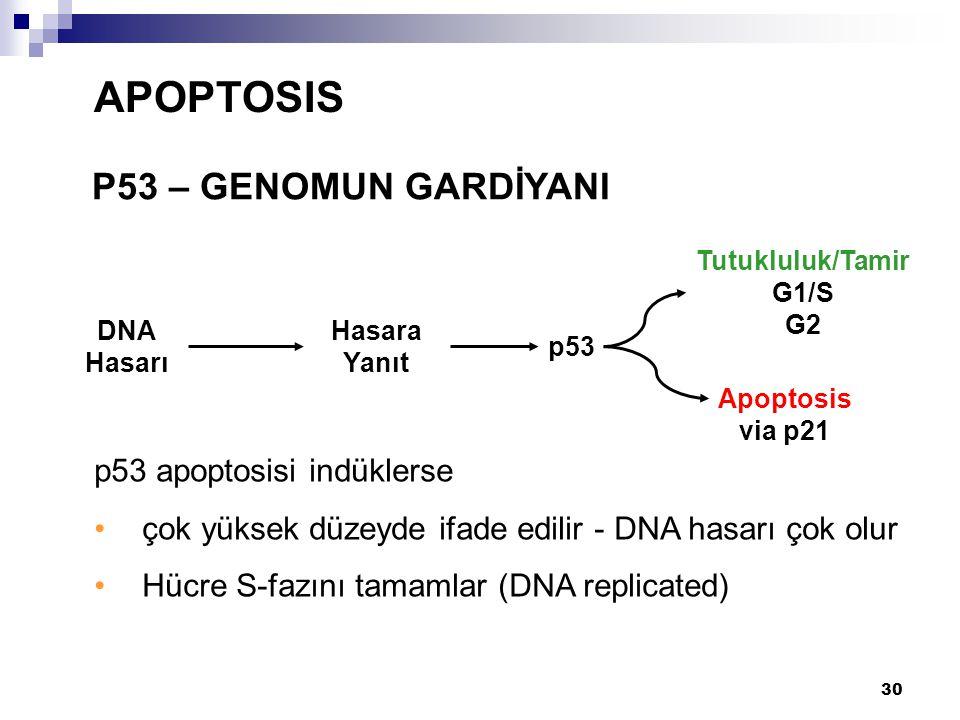 30 P53 – GENOMUN GARDİYANI APOPTOSIS p53 apoptosisi indüklerse çok yüksek düzeyde ifade edilir - DNA hasarı çok olur Hücre S-fazını tamamlar (DNA repl