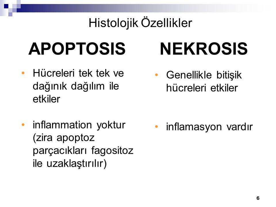 6 Hücreleri tek tek ve dağınık dağılım ile etkiler inflammation yoktur (zira apoptoz parçacıkları fagositoz ile uzaklaştırılır) APOPTOSIS NEKROSIS His