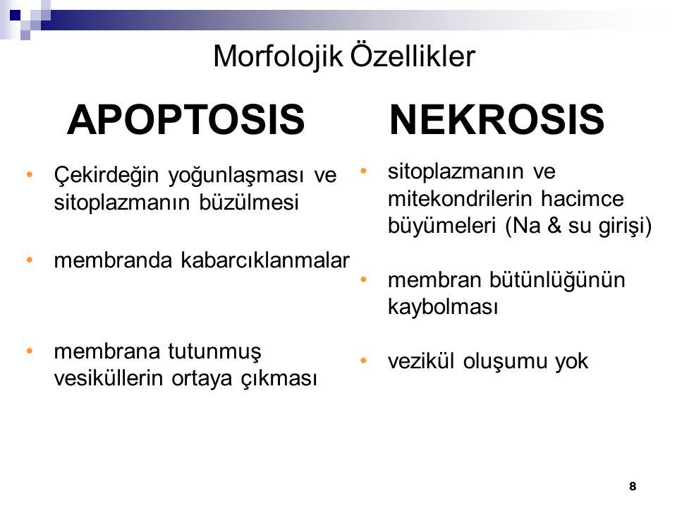 8 Çekirdeğin yoğunlaşması ve sitoplazmanın büzülmesi membranda kabarcıklanmalar membrana tutunmuş vesiküllerin ortaya çıkması APOPTOSIS NEKROSIS Morfo