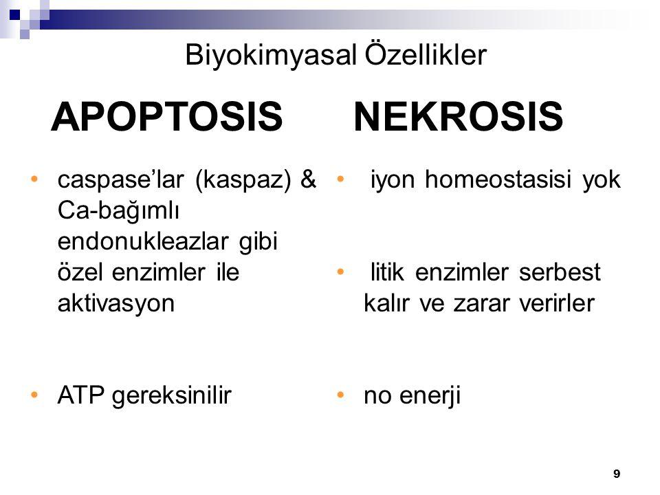 9 caspase'lar (kaspaz) & Ca-bağımlı endonukleazlar gibi özel enzimler ile aktivasyon ATP gereksinilir APOPTOSIS NEKROSIS Biyokimyasal Özellikler iyon