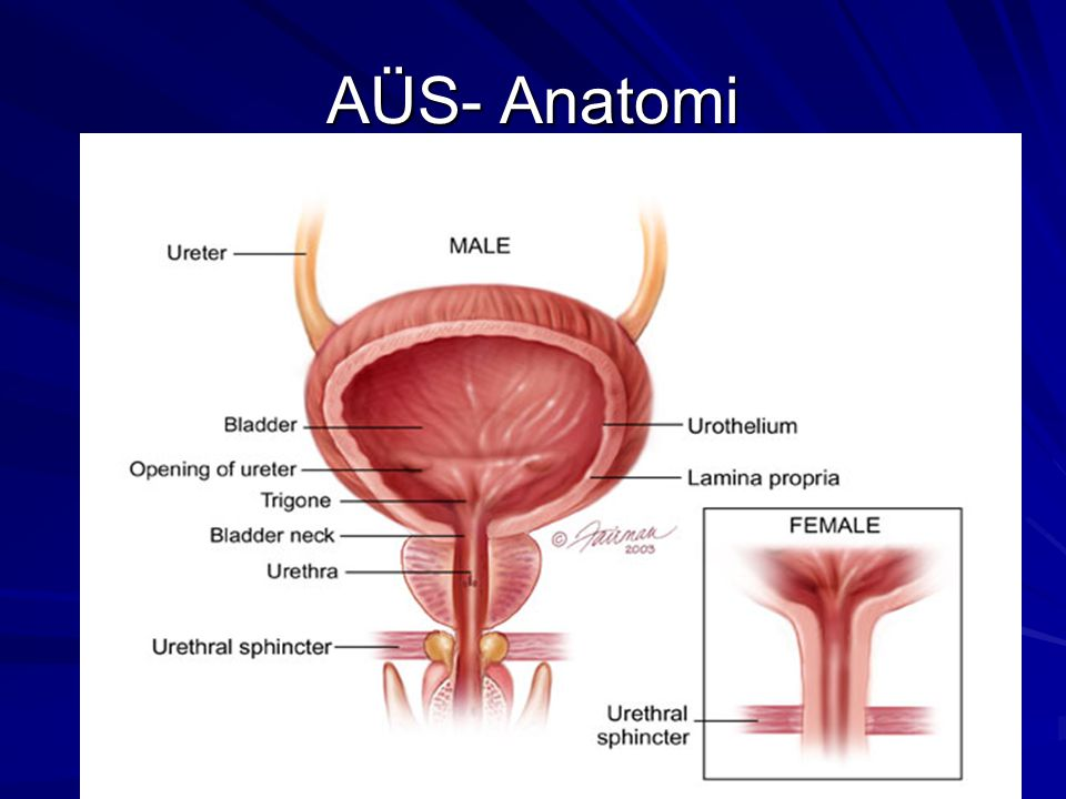 Medications Alpha-adrenergic drugs – –Location - Bladder neck receptors – –Function - Increase bladder outlet resistance by contracting the bladder neck – –Example - pseudoephedrine